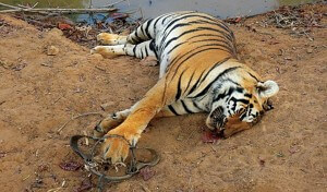 Tiger poached - Tiger conservation efforts hit as Centre slashes funds for Karnataka tiger reserves