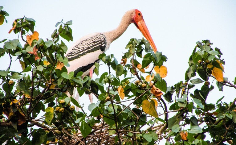 "Kokkare Bellur - Bird Sanctuary, Wildlife getaway from bangalore, WildTrails of India - ""Aggregator App for Your Wildlife Trip"" (We are an Aggregator App, bringing all of Indian wildlife & Nature resorts into one place to help YOU find your ideal destination/resort based on your personal preferences!! Will aggregate Wildlife/Nature Resorts, National parks, (bird & animal) Sanctuaries, Tiger & Elephant reserves, Organized photographic oriented wildlife tours, Camera, Lens & related equipment Rentals, Cab/Car Rentals, Photography Workshops, info about Indian Animals & birds, Tourist Guides and lot more. Currently we are covering Bandipur, Nagarhole (Kabini & Coorg), Coorg & Bird Sanctuaries close to Bangalore.)"