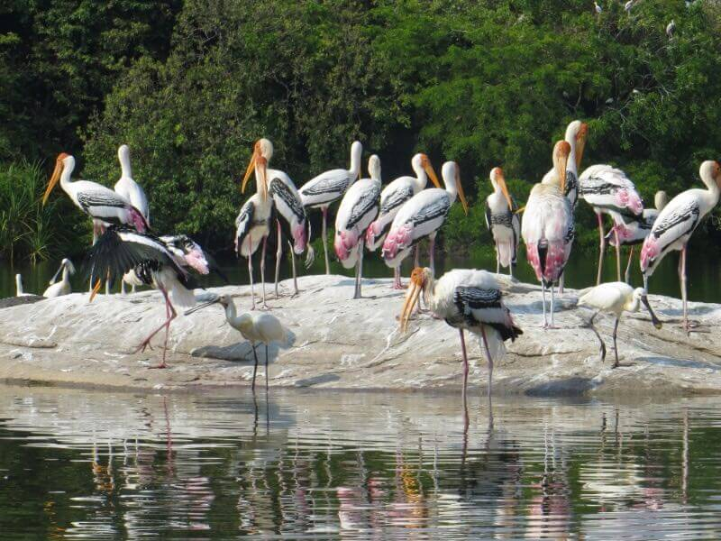 "Ranganthitthu bird sanctuary, Wildlife getaway from bangalore, WildTrails of India - ""Aggregator App for Your Wildlife Trip"" (We are an Aggregator App, bringing all of Indian wildlife & Nature resorts into one place to help YOU find your ideal destination/resort based on your personal preferences!! Will aggregate Wildlife/Nature Resorts, National parks, (bird & animal) Sanctuaries, Tiger & Elephant reserves, Organized photographic oriented wildlife tours, Camera, Lens & related equipment Rentals, Cab/Car Rentals, Photography Workshops, info about Indian Animals & birds, Tourist Guides and lot more. Currently we are covering Bandipur, Nagarhole (Kabini & Coorg), Coorg & Bird Sanctuaries close to Bangalore.)"