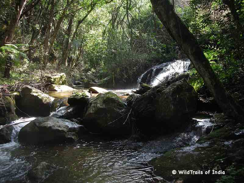 "Anamudi Shola National Park. WildTrails of India - ""One Stop Destination for all Indian Wildlife Enthusiasts"""