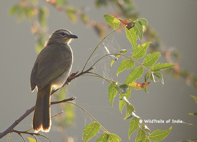 Ghataprabha Bird Sanctuary,[The WildTrails of India app is the best way to get all the details about Indian wildlife sanctuaries (best travel times, safari details, animal sightings, forest accommodations pairing, wildlife related activities, prices, etc). Learn more about WildTrails of India here.]