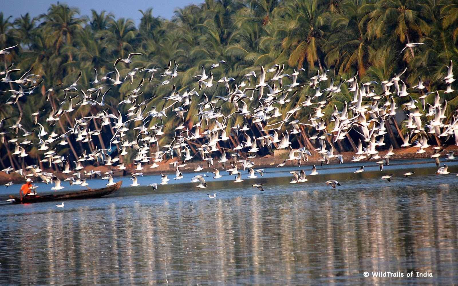 "Kadalundi Bird Sanctuary. WildTrails of India - ""One Stop Destination for all Indian Wildlife Enthusiasts"""