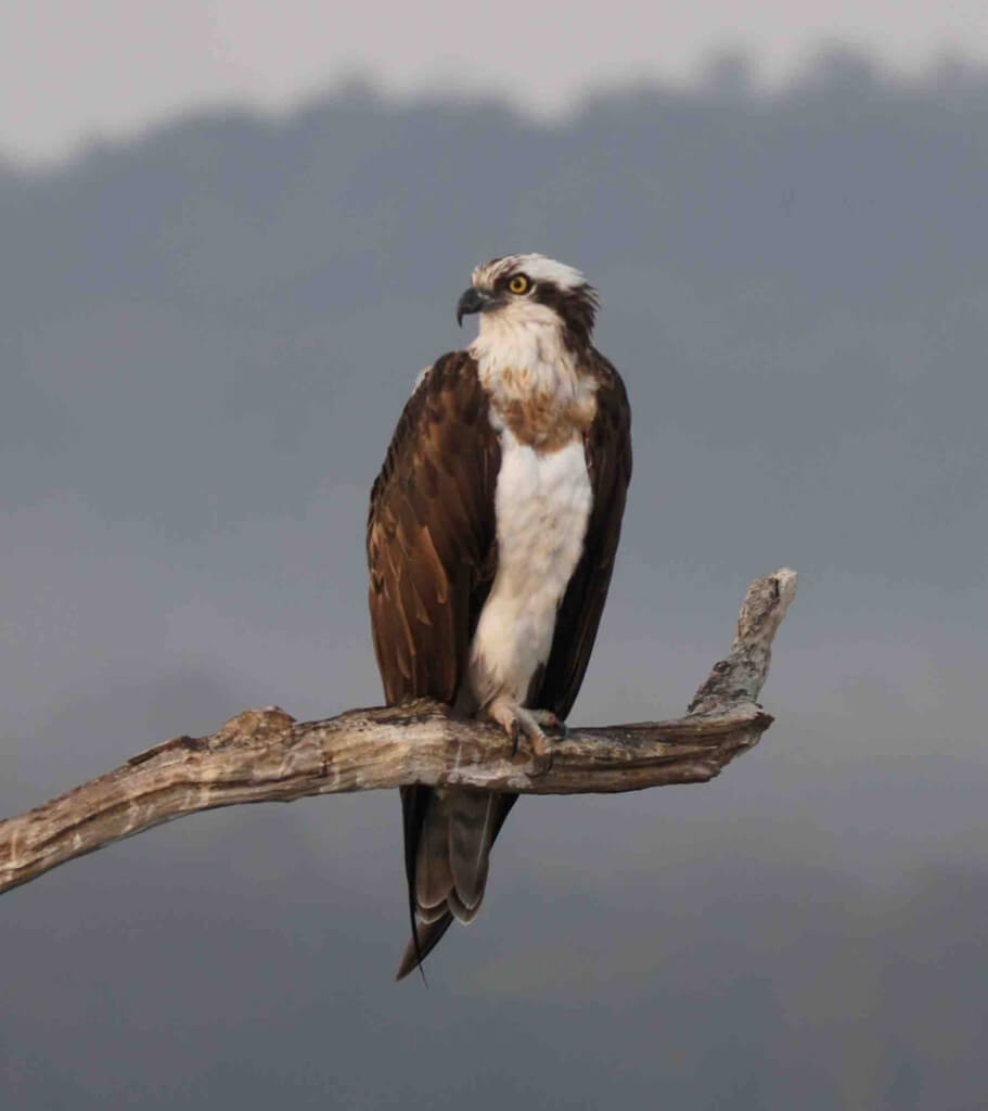 Fishing Eagle Bhadra Tiger Reerve