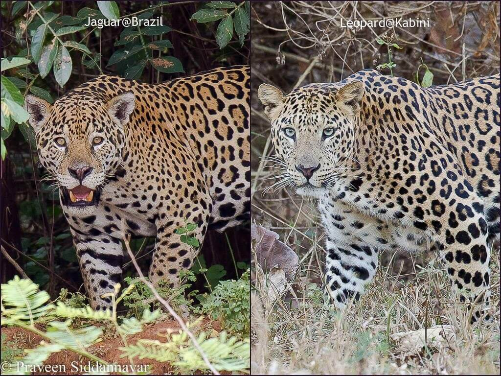 a comparison of the appearance between the jaguar and the leopard