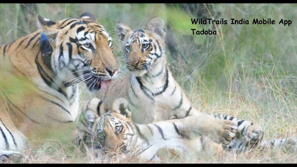 tadoba tigers cubs