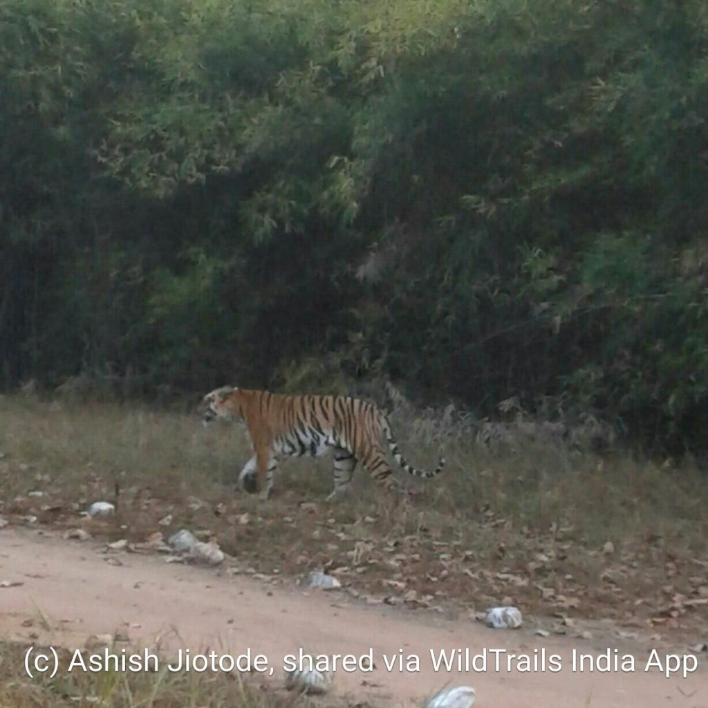 tadoba buffer tiger