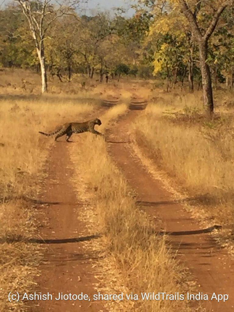 tadoba buffer leopard