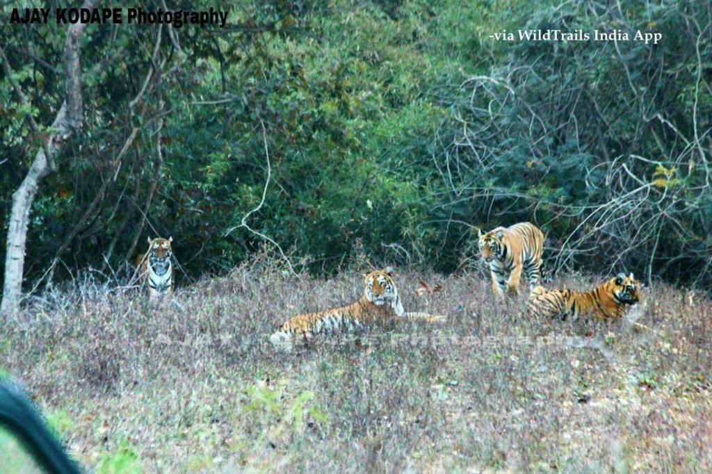 Agzari tadoba tigers
