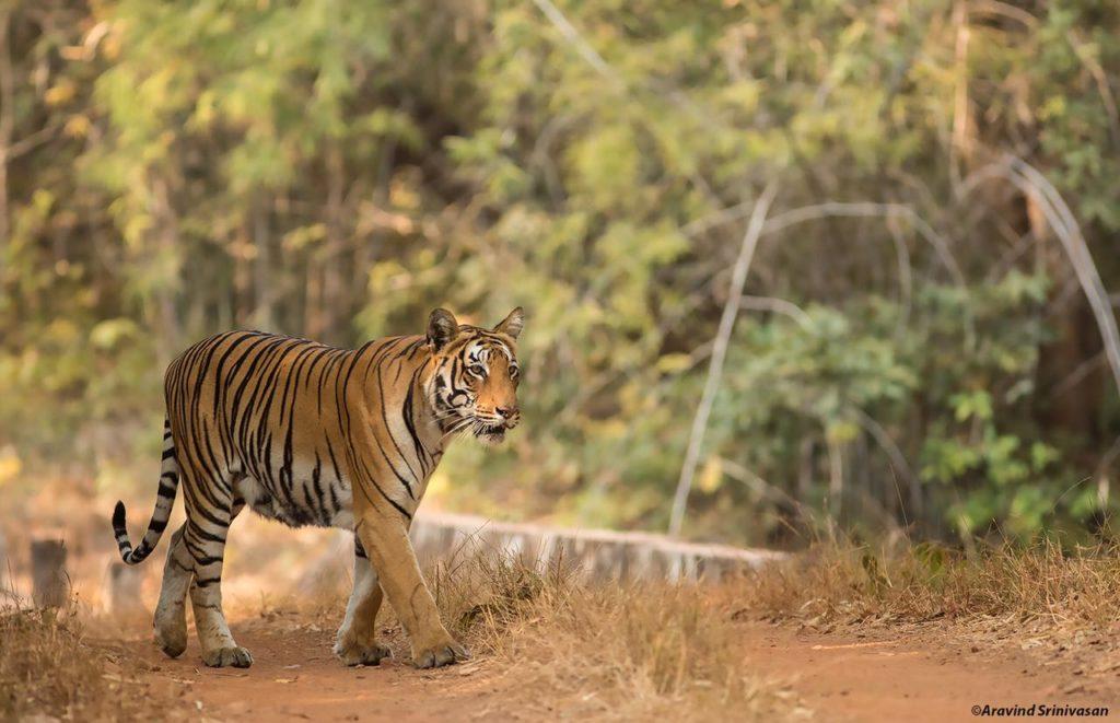 tadoba tigers kuhani