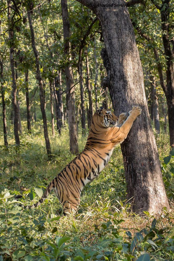 tadoba tigers madhuri