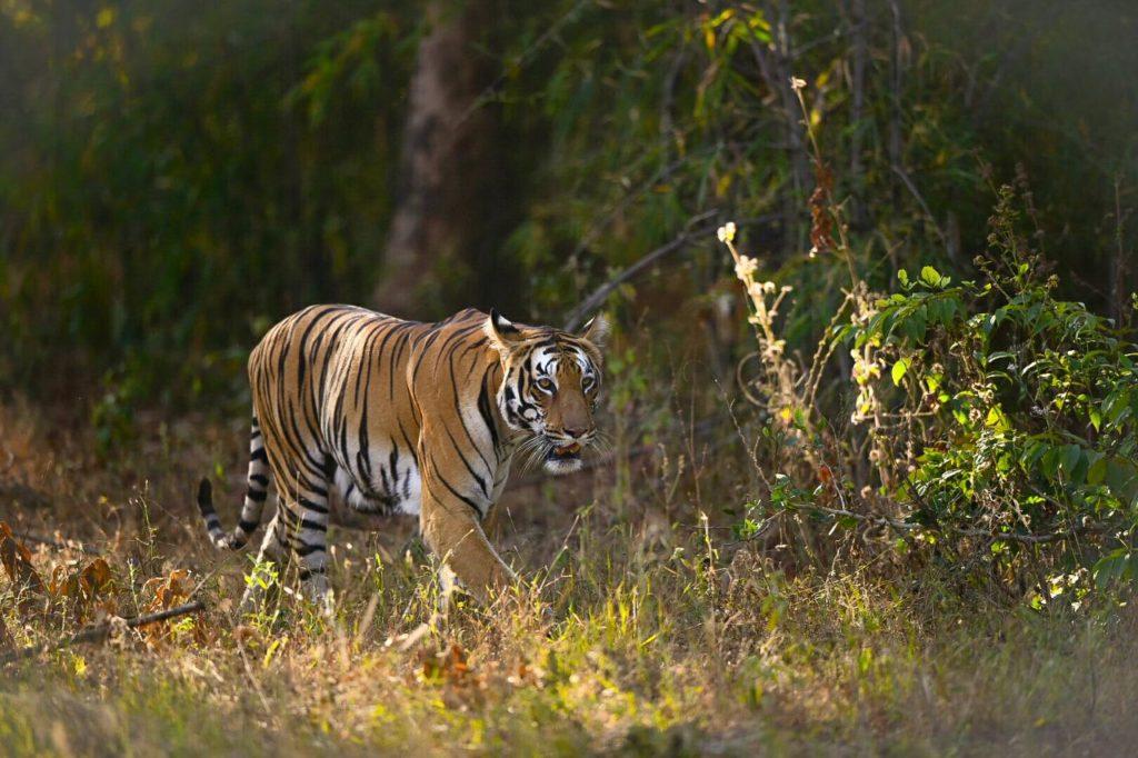 Shivanjari Tadoba Tigers