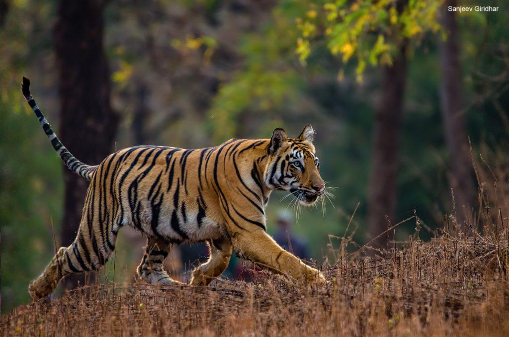 Tadoba Tigers Sitara