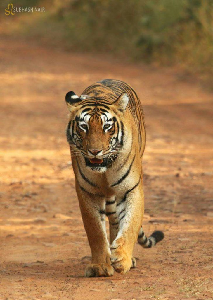 choti tara tadoba tigers