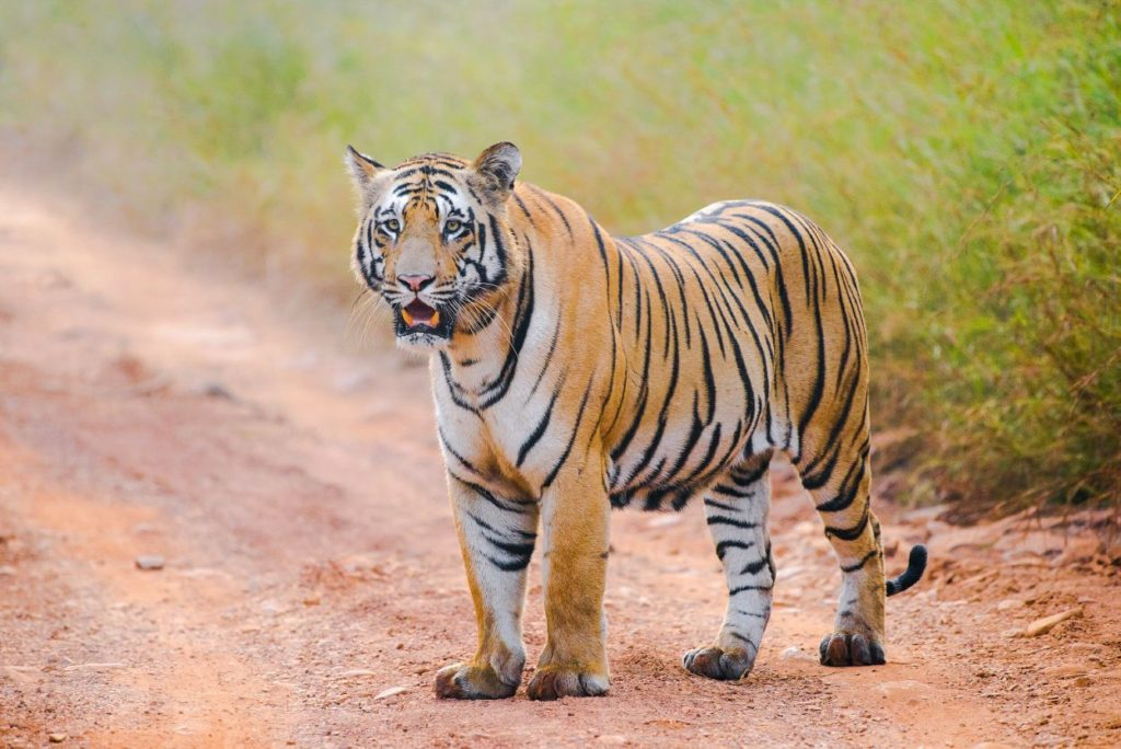 tadoba tigers matkasura