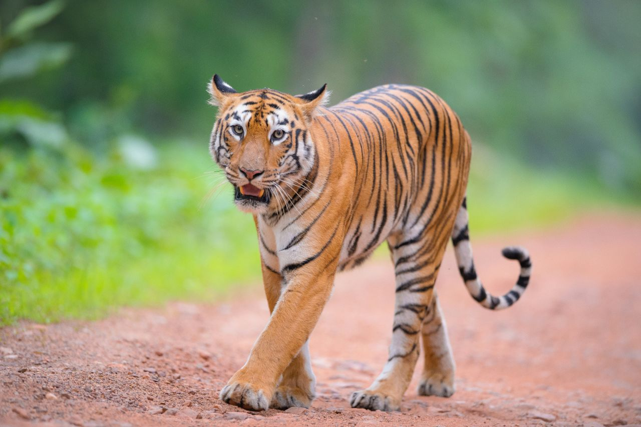 tadoba tigers maya