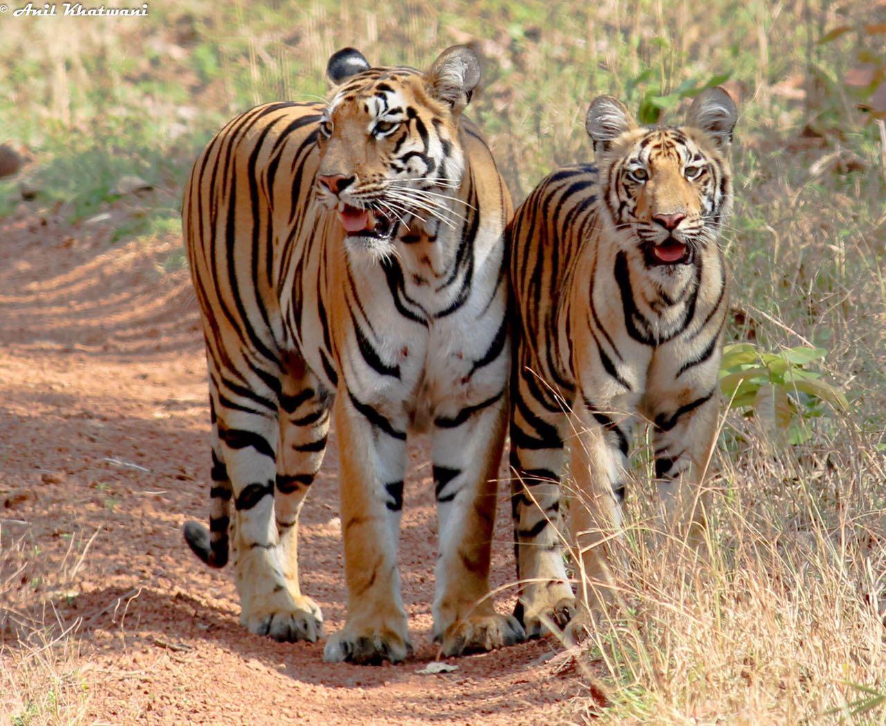 tadoba tigers sonam