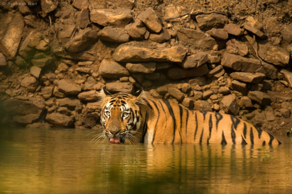 top tiger reserves near hyderabad tadoba