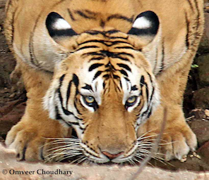 see Tigers in the wild