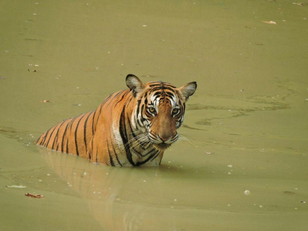 tiger at kabini prasanna gowda wildtrails india