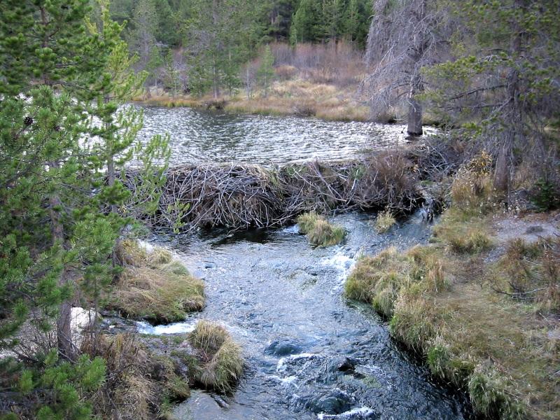 beaver dam keystone species