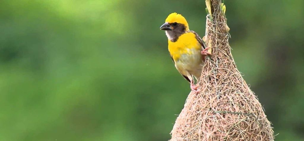 Business lesson from our Wildlife - Lesson #1 - Baya Weaver Bird