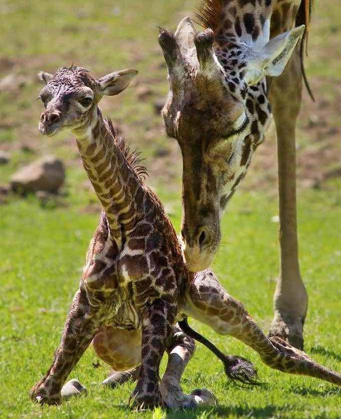 Mother Giraffe Kicks their newborns