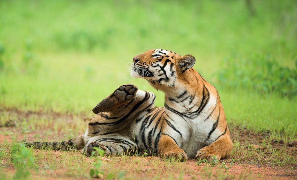 Tadoba Tiger Reserve Package