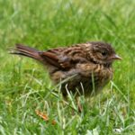 business lesson from Dunnock Birds