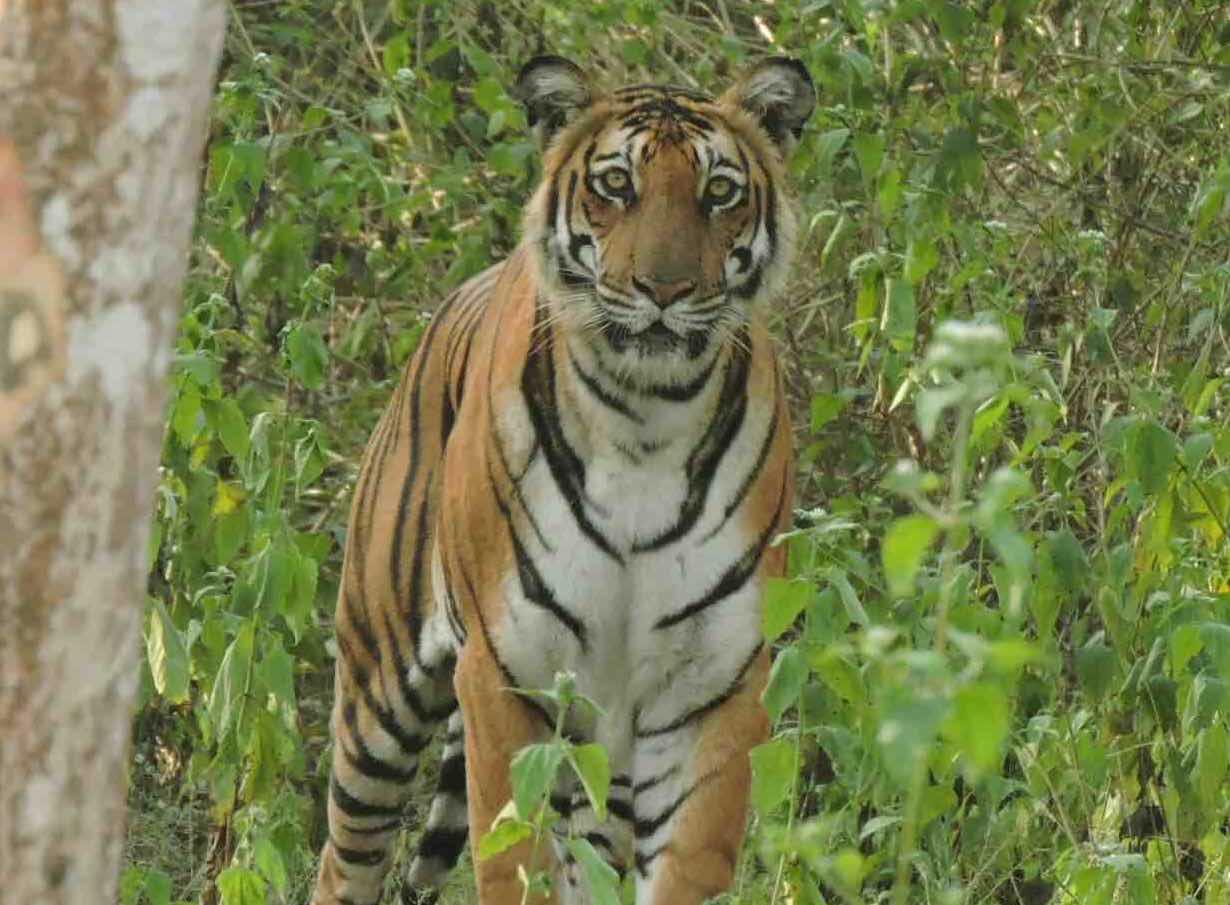 nagarhole package tiger