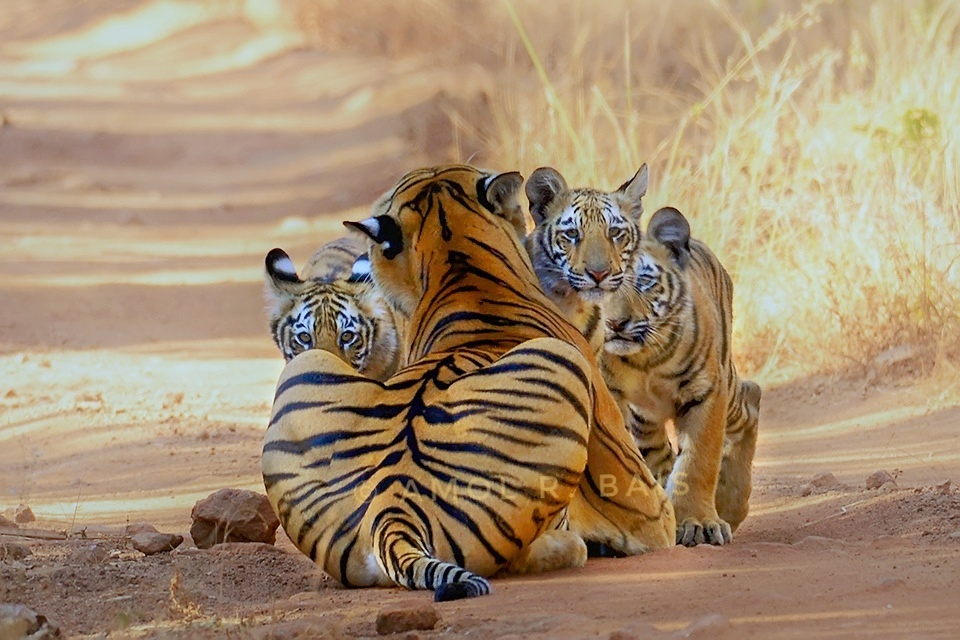 TIGER SAFARIS WITH CHILDREN