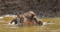 tourism activities Stress Tigers