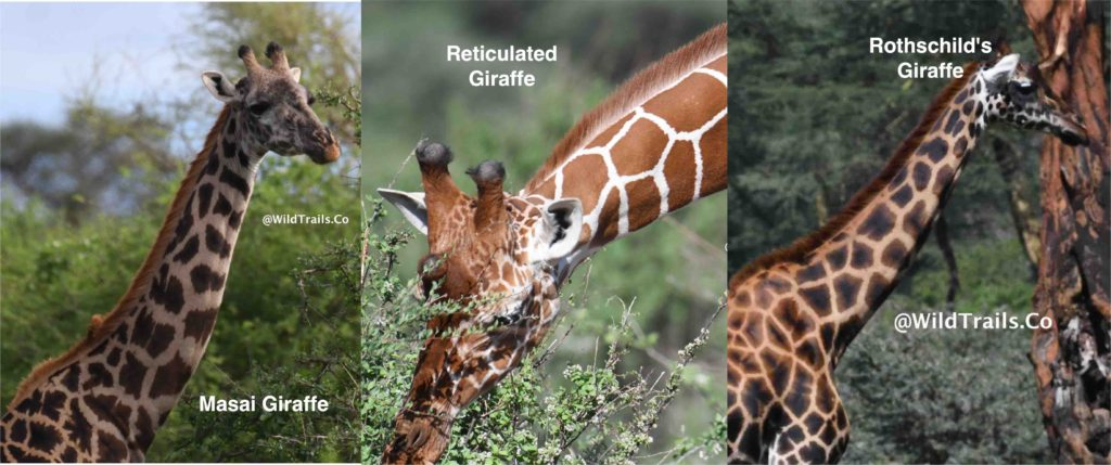 Kenya's 3 kinds of giraffes