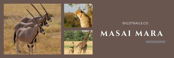 Masai Mara(WildTrails Recent Sightings)